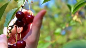 stock-footage-picking-ripe-cherries-picking-ripe-cherries-in-the-orchard-in-close-up-video-clip
